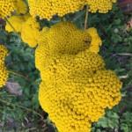 Gelbe Schafgarbe