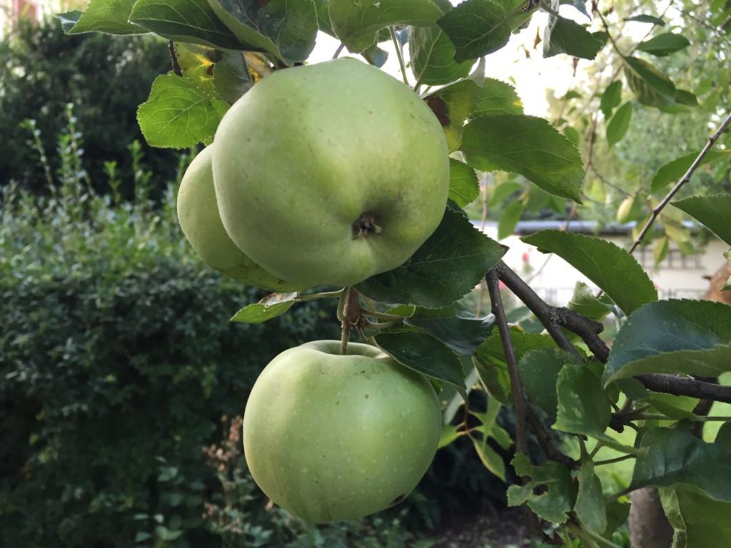 Die Äpfel brauchen noch Zeit.