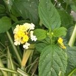 Madeira-Blumen-01