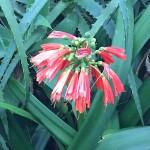 Madeira-Blumen-02