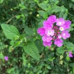 Madeira-Blumen-04