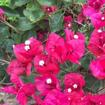 Madeira-Blumen-09
