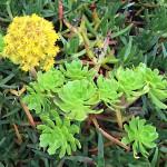 Madeira-Blumen-10