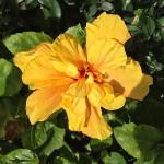 Madeira-Blumen-15