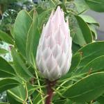 Madeira-Blumen-26
