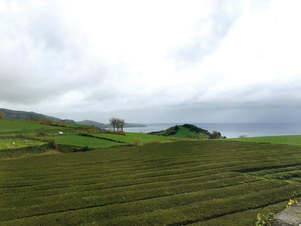 Teeplantage Gorreana