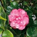 Magnolienblüte im Januar (Terra Nostra Garden Hotel)